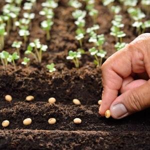 Siembra de semillas en huerto urbano