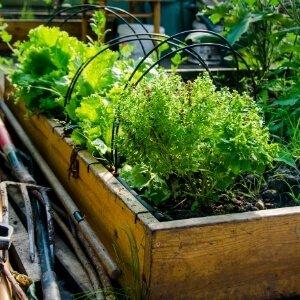 Cultivo en bancal en huerto urbano