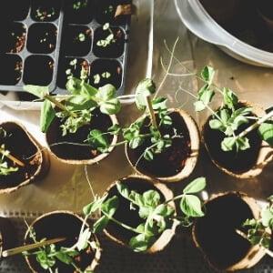 cultivo en semillero o con plantel