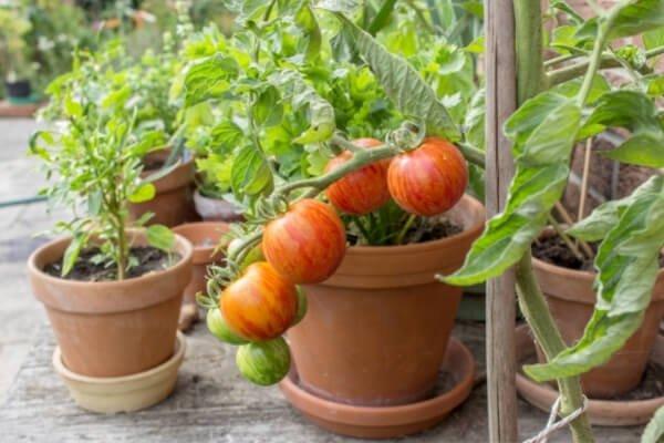 macetas de barro con tomateras sacando tomates para cosechar